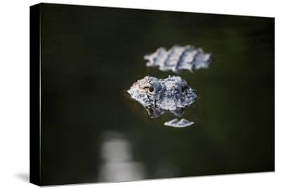 An Alligator Breaks the Surface of Billy's Lake