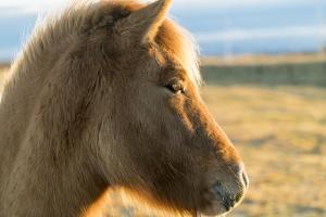 An Icelandic Horse, Equus Ferus Caballus, on South Coast of Iceland by Ira Block