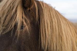 Close Up of Icelandic Horse Near Thingvellir National Park in Western Iceland by Ira Block