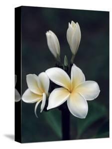 Beautiful hawaiian flowers canvas artwork for sale posters and close view of a delicated plumeria flower hawaii mightylinksfo