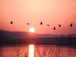 Flock of Canada Geese Flying over a Lake at Sunset, Pennsylvania by Ira Block