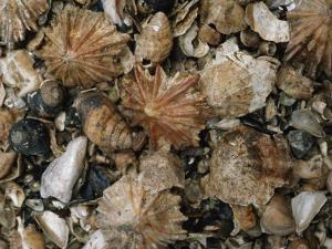 Fossil Seashells Found During Excavation Include Limpets and Periwinkles by Ira Block