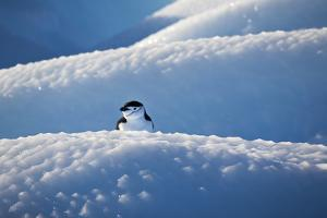 A Chinstrap Penguin, Pygoscelis Antarctica, on a Pebbly-Surfaced Iceberg by Ira Meyer