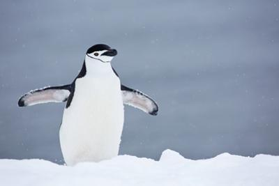 A Chinstrap Penguin Walking in a Snow Shower by Ira Meyer