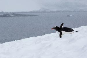 A Gentoo Penguin Tobagganing in a Snow Storm by Ira Meyer