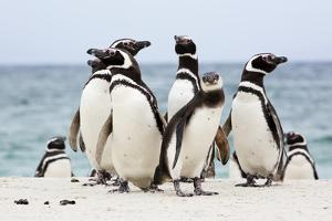 A Group of Magellenic Penguins, Spheniscus Magellanicus, on a Sandy Beach by Ira Meyer