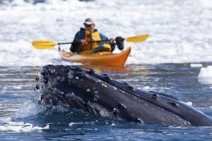 A Humpback Whale, Megaptera Novaeangliae, Surfaces in Brash Ice Near a Kayaker by Ira Meyer