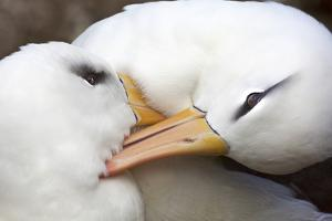 A Pair of Black-Browed Albatrosses Preening and Canoodling Each Other by Ira Meyer