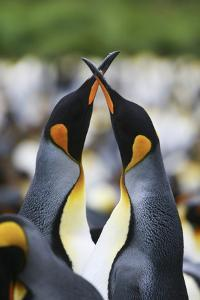 A Pair of King Penguins, Aptenodytes Patagonicus, Courting in a Rookery by Ira Meyer