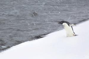 An Adelie Penguin Walking Towards the Water in a Snow Storm by Ira Meyer