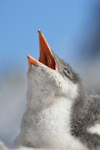 Close Up of a Downy Gentoo Penguin Chick Begging for Food by Ira Meyer