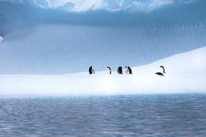 Gentoo Penguins, Pygoscelis Papua, on a Blue Iceberg in the Area known as Iceberg Alley by Ira Meyer