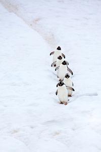 Gentoo Penguins Walking Single File Down a Penguin Highway by Ira Meyer