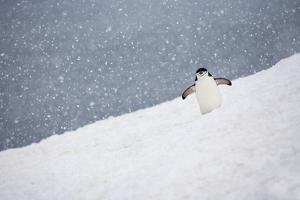 Portrait of a Chinstrap Penguin, Pygoscelis Antarctica, in a Snow Shower by Ira Meyer