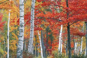Sugar Maple, Acer Saccharum, and White Birch Trees, Betula Papyrifera, in Brilliant Autumn Hues by Ira Meyer