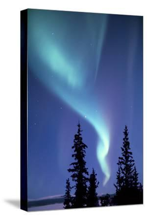 The Aurora Borealis, or Northern Lights, over Silhouetted Evergreen Trees