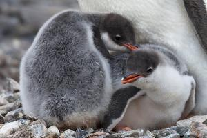 Two Gentoo Penguin Chicks, Pygoscelis Papua, at the Feet of a Parent by Ira Meyer