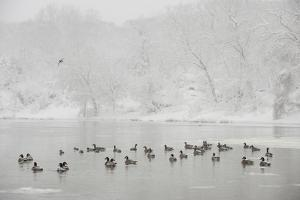 Canada Geese in the Potomac River in a Snowy Landscape by Irene Owsley