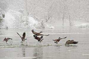 Canada Geese Taking Off from the Potomac River in a Snowy Landscape by Irene Owsley