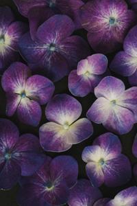 Hydrangea Melody by Irene Suchocki