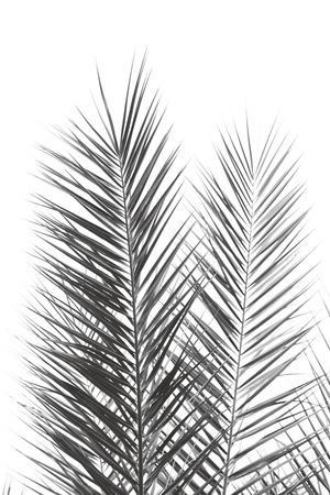 Palm Crisp Noir