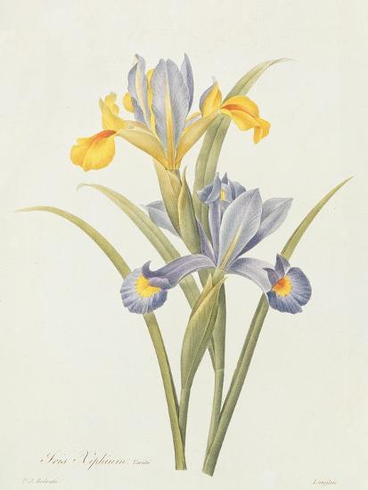 Iris (Colour Engraving)-Pierre-Joseph Redout?-Giclee Print