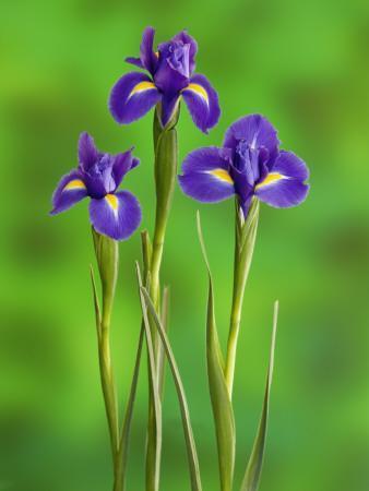 https://imgc.artprintimages.com/img/print/iris-flowers_u-l-pdkssh0.jpg?p=0