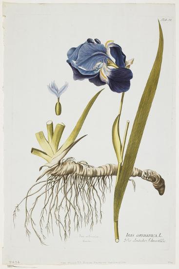 Iris Germanica, from Icones Plantarum Medicinalium, 1788-1812-Joseph Jacob Plenck-Giclee Print