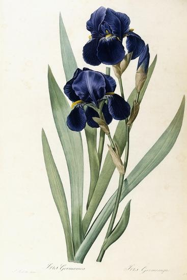 Iris Germanica-Pierre-Joseph Redout?-Giclee Print