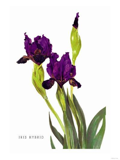 Iris Hybrid--Art Print