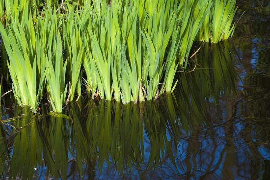 Iris Leaves in Shallow Pond Water-Anna Miller-Photographic Print