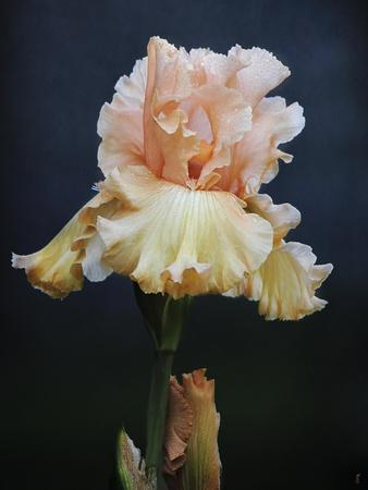 https://imgc.artprintimages.com/img/print/iris-on-blue_u-l-pu0jtl0.jpg?p=0