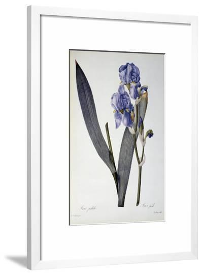 Iris Pallida, from Les Liliacees, 1812-Pierre-Joseph Redout?-Framed Giclee Print