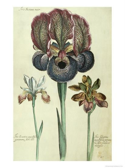 Iris Susiana Major and Iris Bisantina Angustifolia-Georg Dionysius Ehret-Giclee Print