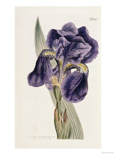 Iris-William Curtis-Giclee Print