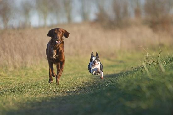 Irish Setter and Boston Terrier Running--Photographic Print