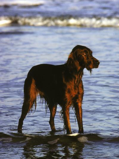Irish Setter Stand in the Surf of the Atlantic Ocean-Rex Stucky-Photographic Print