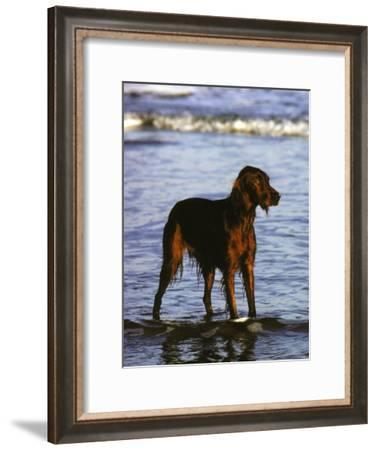 Irish Setter Stand in the Surf of the Atlantic Ocean-Rex Stucky-Framed Photographic Print