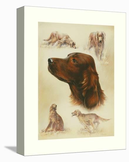Irish Setter-Libero Patrignani-Stretched Canvas Print