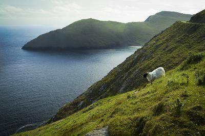 Irish Sheep-Christian Wilt-Photographic Print