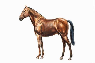 Irish Sport Hunter or Irish Hunter (Equus Caballus), Equidae--Giclee Print