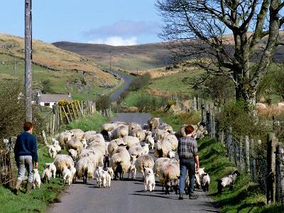 Irish Spring Lambs-Chris Hill-Photographic Print