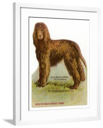 Irish Water Spaniel--Framed Giclee Print