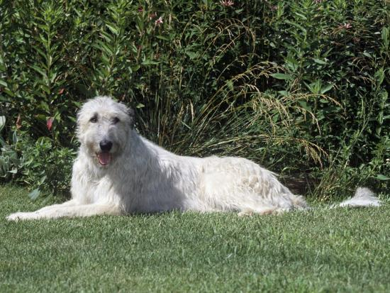 Irish Wolfhound Breed of Domestic Dog-Cheryl Ertelt-Photographic Print