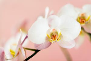 White Orchids Flowers on Pink Background by Iryna Rasko