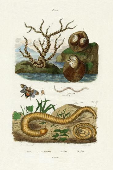 Isis Coral, 1833-39--Giclee Print