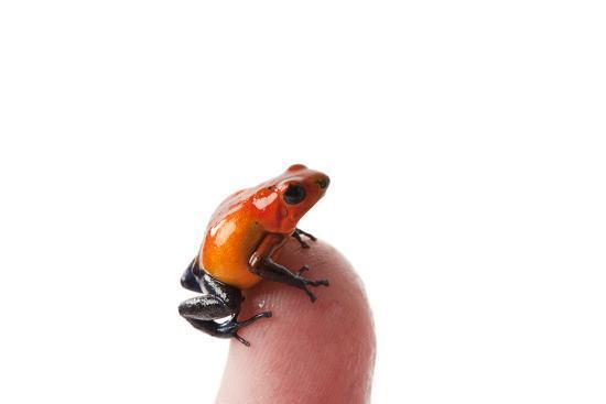 Isla Colon Morph of the Strawberry Poison Dart Frog, Oophaga Pumilio-Joel Sartore-Photographic Print