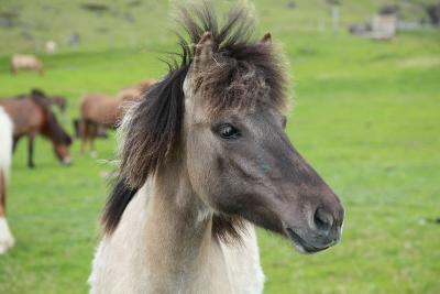 Island Pferde- Siegmar-Photographic Print