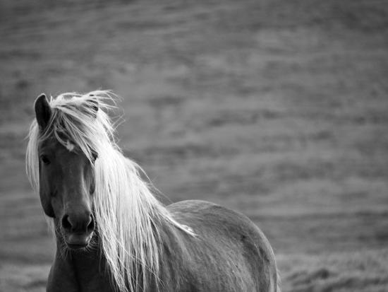 Islandic Horse with Flowing Light Colored Mane, Iceland-Joan Loeken-Photographic Print
