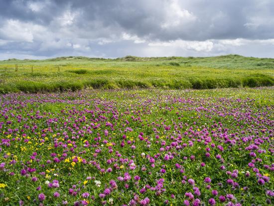 Isle of Lewis, Machair with Red Clover (Trifolium Pratense). Scotland-Martin Zwick-Photographic Print